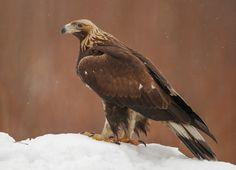 Aquila chrysaetos - Golden Eagle - kilnusis erelis Golden Eagle, Birds Of Prey, Penne, Eagles, Bald Eagle, Owl, Nature, Animals, Naturaleza