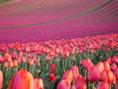 A gorgeous field of tulips would thrill my girls for Valentine's Day, but they'll have to settle for the photograph. :-)