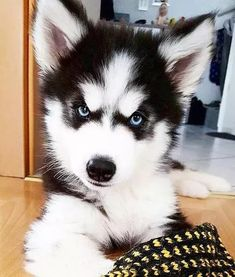 Huskies make the best faces #siberianhuskypuppy