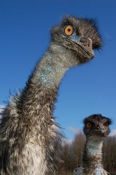 The emu is the largest bird native to Australia and the only extant member of the genus Dromaius. It is the second-largest extant bird in the world by height, after its ratite relative, the ostrich. There are three subspecies of emus in Australia. Funny Birds, Funny Animals, Cute Animals, Unique Animals, Reptiles, Mammals, Primates, Emu, Beautiful Birds