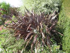 4. Phormium tenax Purpureum Group Herbaceous Border, Burgundy Color, Hyde, Color Themes, Display, Group, Plants, Decor, Floor Space