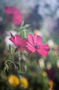 Lin rouge du jardin