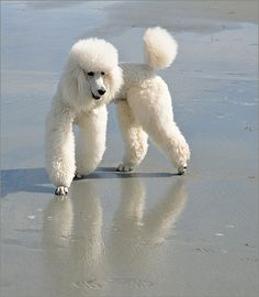 Latest Cost-Free dogs and puppies poodle Tips Complete you cherish your pet? Right pet dog care as well as training will make sure mo Poodle Grooming, Dog Grooming, Cortes Poodle, I Love Dogs, Cute Dogs, Poodle Cuts, Dog Life, Dogs And Puppies, Poodle Puppies