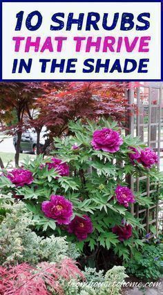 This list of shrubs is perfect for my shade garden. I wasn't sure how to fill in the garden bed and now I have a bunch of options. I really like the 4th one. #gardenshrubsshade #shadegardenshrubs #raisedgardening #gardenbeds