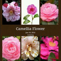 camellia ;;)