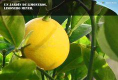 LIMONERO MEYER