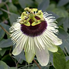 Passion Flower 'Panda' (Passiflora hybrid) - Vines and Climbers - Garden