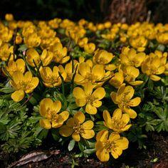 Winterlinge blühen im Februar, wenn Farben im Garten noch selten sind. Sie lieben (halb)schattige Standorte, unter Bäumen, im Schattengarten. Gepflanzt werden sie als Blumenzwiebeln im Herbst, erhältlich im Onlineshop www.fluwel.de