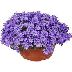Klokkeblomst blå skål 23 cm Plants, Garden, Planter Pots, Planters, Flowers