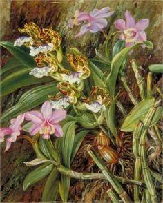Brazilian Orchids - Marianne North