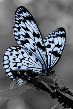 How strange that Nature does not knock, and yet does not intrude!  ~Emily Dickinson #butterfly