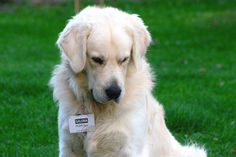 Labrador Retriever, Dogs, Animals, Labrador Retrievers, Animais, Animales, Animaux, Chocolate Labradors, Pet Dogs