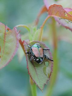 I found one of these in my garden today munching away at my eggplant leaves. Controlling Japanese Beetles, Solutions for Japanese Beetle Control Garden Bugs, Garden Insects, Garden Pests, Lawn And Garden, Plant Pests, Organic Gardening, Gardening Tips, Indoor Gardening, Japanese Beetles