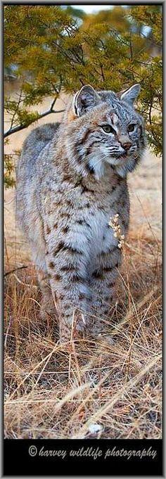 beautiful BOBCAT © Harvey Wildlife Photography #lynx luchs big cat wildlife wilderness animal nature amazing