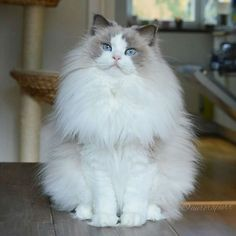 Fluffy cat breeds are some of the most popular, furry cats can be found in white, black, grey and even Siamese coloring. Love to cuddle soft,? Cute Kittens, Pretty Cats, Beautiful Cats, Pretty Kitty, Gorgeous Gorgeous, Beautiful Dolls, Beautiful Pictures, Gatos Ragdoll, Ragdoll Cats