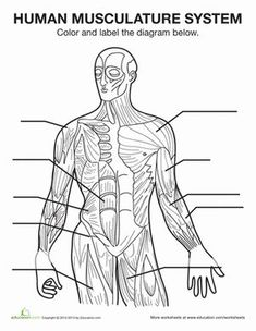 Free muscular system coloring pages ~ Human Skeletal System Worksheet Coloring page | Skeletal ...