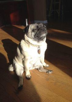 Pretty black puggy squishys pinterest animal dog and black pug dog altavistaventures Images