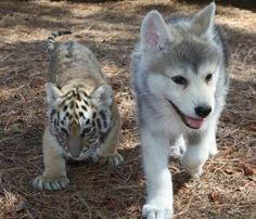 wow a wolf pup and tiger cub... very cute