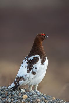 Male willow ptarmigan in spring plumage, Denali National Park, Alaska. Exotic Birds, Colorful Birds, Pretty Birds, Beautiful Birds, Pigeon, Willow Ptarmigan, Funny Parrots, State Birds, Grouse