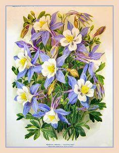 Aquilegia caerulea - Aquilégia, Columbine Originária do México, a Aquilégia é uma planta herbácea perene, ereta e vigorosa, de caules finos, com maciços de folhas ordenadas, graciosas, de cor verde azulado, que podem atingir de 20 a 60 cm de altura. http://sergiozeiger.tumblr.com/…/aquilegia-caerulea-aquileg… Suas folhas são recortadas.
