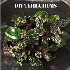 Making a terrarium out of a large glass jar. Here is my current thumbnail grow-out tank: In this tiny container, I h…