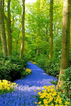 Blue Path, Kukenoff Gardens, Netherlands. Someday I will have a river of grape hyacinth muscari or bluebells.