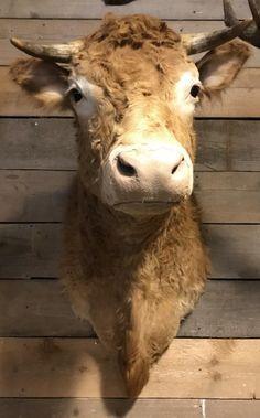 Opgezette kop van een Blonde Limousin koe - Opgezette dierenkop, Opgezette kop. Taxidermy- De Jachtkamer