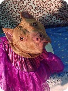 Belleville, MI - American Pit Bull Terrier Mix. Meet DELIA, a dog for adoption. http://www.adoptapet.com/pet/9533370-belleville-michigan-american-pit-bull-terrier-mix
