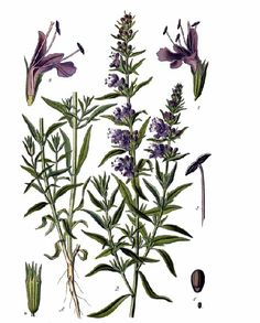 As lovely a garden plant as you're ever likely to find, Hyssop is a small shrub related to Mint. It is sweet-smelling and easy to grow, with beautiful flowering Botanical Drawings, Botanical Prints, Flower Drawings, Small Shrubs, Plant Tattoo, How To Attract Hummingbirds, Language Of Flowers, Plant Drawing, Gardens