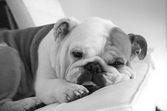 English Bulldog puppy... looks how I feel most mornings...