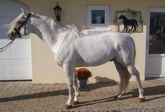 Horses for sale - RINEEN BOY - Connemara stallion @Ridehesten.com