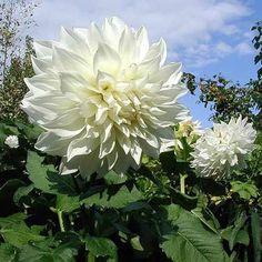 Flores blancas- dalia