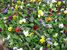 The variety of pansies are so pretty! They always pop up with beautiful colors!