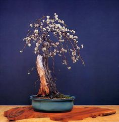 Bonsai, as you may already know, originated in China but it spread and flourished in Japan. It is an art of training and taking care of...