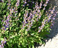 Šalvěj je prý všelék Plants, Flowers