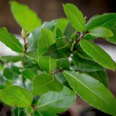 Laurier Sauce, Plantation, Aloe Vera, Life Hacks, Plant Leaves, Flora, Herbs, Health, Plants