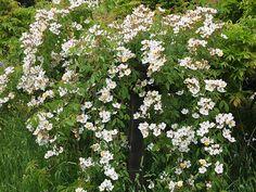 Theme Gardens | Rose Gardens | Michael Bates - English Country Garden Design, Inc.