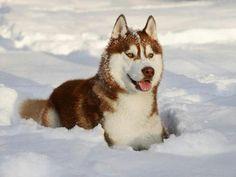 Siberian Husky in the Snow Red Siberian Husky, Siberian Huskies, Husky Mix, Loki, Pet Dogs, Pictures, Snow, Animals, Inspiration