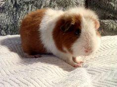 Piggy, pig, for sale. Us teddy na prodej. Ústí nad Labem. Doprava přepravou zvířátek https://zvirata.bazos.cz/inzerat/82638584/US-Teddy-s-PP-morce-holka.php