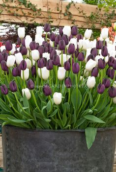 Tulips mixed 'Queen of  Night' + 'Snowpeak' purple and white tulip colors together in spring flowering bulbs container garden using old metal tub