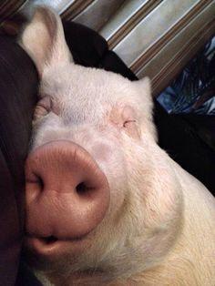 Behold Esther the Wonder Pig. She is quite active on Facebook: facebook.com/estherthewonderpig