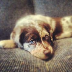 Scout the Chocolate Aussiedor.Australian Shepherd/Chocolate lab