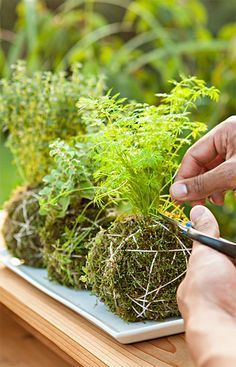 Make your own kokedama (or moss ball) in a few easy steps. Grow herbs in kokedama fashion, then clip off what you need for seasoning while cooking outdoors.