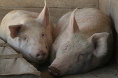Pig | Picture of Socks and Emily taken by Wanda Embar at Farm Sanctuary .