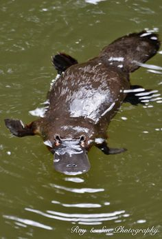 Spot Platypus in the wild, shy, elusive, easily frightened and creatures of dawn and dusk, the Platypus is notorious for being nearly impossible to spot in the wild...