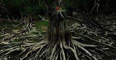 Bromélia nasce de um tronco de cipreste, na reserva nacional Big Cypress, na Flórida, EUA
