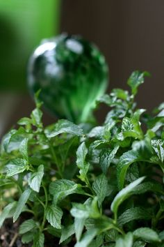 """I have a chocolate mint plant... and just about all the other """"flavors' of mint.  Now, I need to find out HOW to use them (besides making tea and garnishing food with them)."""