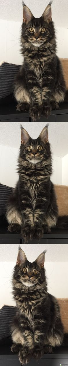 Maine coon kitten 6 months brown tabby blotched. Millquartercoons Boreas Albus. Black tabby. Instagram: @boreas.abus.mainecoon