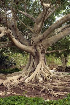 Ceiba Tree.  Ceiba is the name of a genus of many species of large trees found in tropical areas. Some species can grow to 230 ft tall or more, with a straight, largely branchless trunk that  culminates in a huge, spreading canopy, and buttress roots that can be  taller than a grown person.