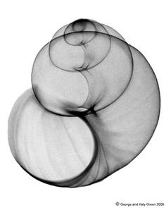 Sea shell x-ray, so beautiful! Art Furniture, Snail Shell, Grafik Design, Sea Creatures, Sacred Geometry, Sea Shells, Art Photography, Black And White, Drawings